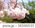 桜 開花 花の写真 36500535