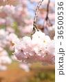 桜 開花 花の写真 36500536