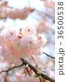 桜 開花 花の写真 36500538