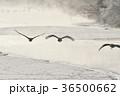 タンチョウ 鶴 霧の写真 36500662