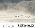 タンチョウ 霧 鶴の写真 36504982