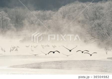 樹氷に囲まれたねぐらから飛び立つタンチョウ(北海道・鶴居) 36504982