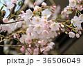 花 桜 サクラの写真 36506049