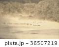 鶴 タンチョウ 樹氷の写真 36507219