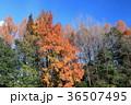 雑木林 楓 紅葉の写真 36507495