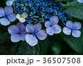 アジサイ 紫陽花 花の写真 36507508