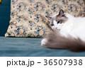 猫とソファ 36507938