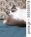 猫とソフア 36508978