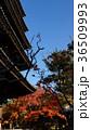 八坂の塔 色づくモミジ 36509993