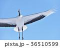 丹頂 丹頂鶴 鶴の写真 36510599