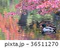 紅葉の水面に佇むマガモのペア 36511270