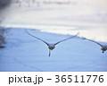 タンチョウ ツル 飛翔の写真 36511776
