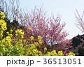 春 桃の花 菜の花の写真 36513051