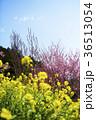 春 桃の花 菜の花の写真 36513054