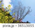 春 桃の花 菜の花の写真 36513055