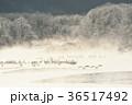 タンチョウ 樹氷 ねぐらの写真 36517492