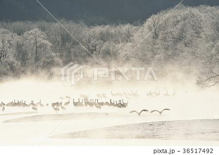 樹氷に囲まれたねぐらから飛び立つタンチョウ(北海道・鶴居) 36517492