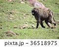 動物 哺乳類 陸の哺乳類の写真 36518975