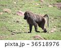 動物 哺乳類 陸の哺乳類の写真 36518976