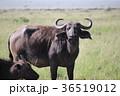 マサイマラ 動物 サバンナの写真 36519012