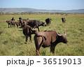 野生動物 動物 サバンナの写真 36519013