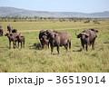 マサイマラ サバンナ 水牛の写真 36519014
