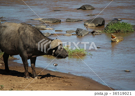 ワニに食べられそうな水牛 36519021