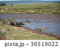 川に潜むワニの群れ 36519022