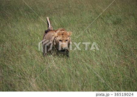 獲物を狙うライオン 36519024