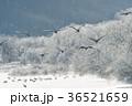 タンチョウ ツル 樹氷の写真 36521659