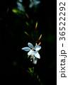 植物 花 ガウラの写真 36522292