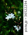 植物 花 ガウラの写真 36522294