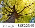 秋 銀杏 大銀杏の写真 36522345