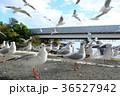 ユリカモメ 鳥 野鳥の写真 36527942