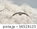 丹頂 鶴 丹頂鶴の写真 36529125