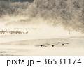 タンチョウ ツル 飛翔の写真 36531174