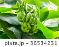 バナナの木と実 36534231