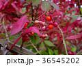 ニシキギ 紅葉 秋の写真 36545202