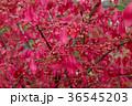 ニシキギ 紅葉 秋の写真 36545203
