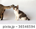 A little tabby kitten behind adult cat 36546594