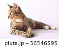 Brown eyes Cat looking side 36546595