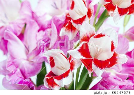ピンクと赤白のグラジオラスの花 36547673