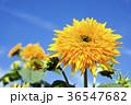 ヒマワリ 花 夏の写真 36547682