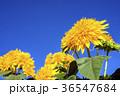 ヒマワリ 花 夏の写真 36547684