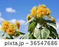 ヒマワリ 花 夏の写真 36547686