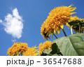 ヒマワリ 花 夏の写真 36547688