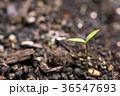 芽 発芽 双葉の写真 36547693