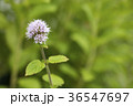 ウォーターミント 花 ミントの写真 36547697