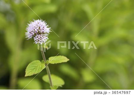 緑を背景にウォーターミントの花 36547697