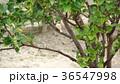 白いスズメ 36547998
